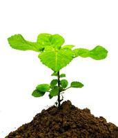 junge grüne Pflanze auf einem weißen Hintergrund foto