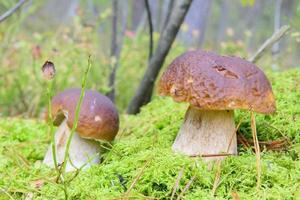 kleine Steinpilze im Wald