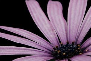 lila Blütenblätter auf schwarzem Hintergrund foto