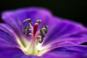 lila Blume auf schwarzem Hintergrund