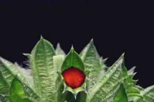 rote Frucht auf einem grünen Blatt foto