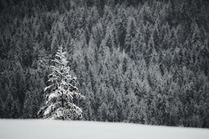 grüne Kiefer mit Schnee bedeckt foto