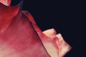 rosa Rose auf schwarzem Hintergrund foto