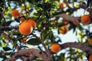 Orangen am Baum tagsüber foto