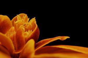 orange Blume mit schwarzem Hintergrund foto