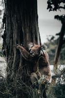 Koalabär in der Natur foto