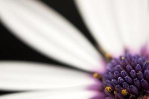 lila und weiße Blume foto