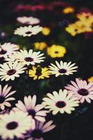 Nahaufnahme von bunten Gänseblümchen foto