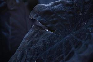 Nahaufnahmefoto der schwarzblättrigen Pflanze foto