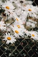 Bündel Gänseblümchen in der Nähe eines Zauns