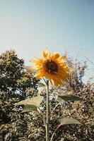 einzelne Sonnenblume über den Bäumen
