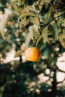 einzelne Orangenfrucht foto