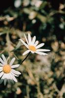 zwei Gänseblümchen in der Sonne