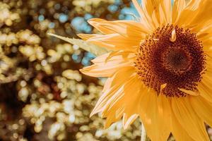 eine helle Sonnenblume im Sommer