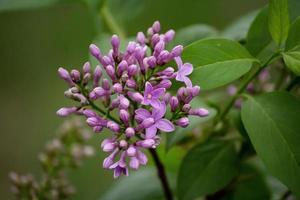 Nahaufnahme von lila Blumen foto