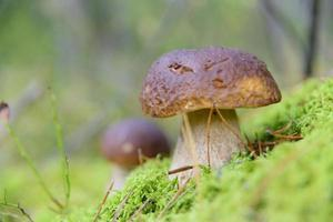 kleine Steinpilze im Wald foto
