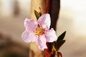 rosa Kirschblüte foto