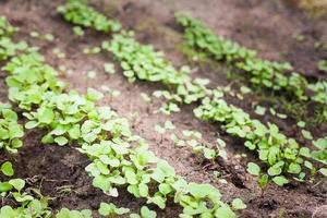 grüner Spross, der aus Samen wächst foto