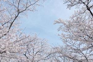 Kirschblütenbild foto
