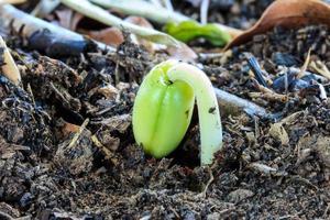 Spross von Tamarindensamen, den der Landwirt kultiviert, um zu kee