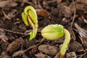 Nahaufnahme des aus dem Boden wachsenden grünen Sämlings foto