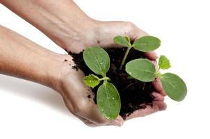 Frau, die junge Pflanzen im Boden hält foto