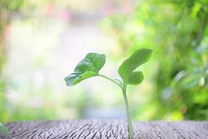 Gurke wächst auf Holztisch foto