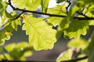Eichenblätter taumeln in freier Wildbahn vor Wind.