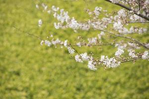 Kirschblütenbild