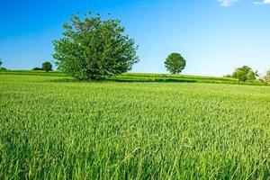 grünes Korn in hügeliger Landschaft