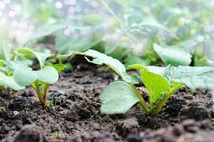 Radieschen wachsen im Garten foto