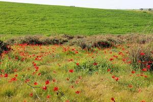 Frühlingswiese mit blühenden roten Anemonenblüten foto