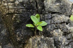 kleine Pflanzen leben und wachsen auf dem Felsen foto