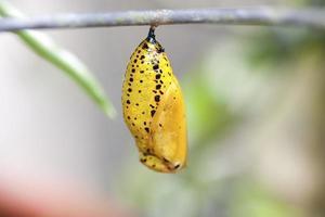 Schmetterlingspuppe