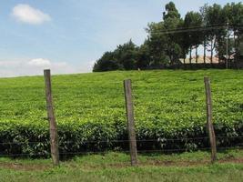 Tee Plantage foto