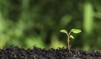 Nahaufnahme des Sämlings im Boden vor grünem Hintergrund foto