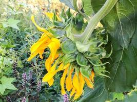 blühende Sonnenblume auf unscharfem Hintergrund foto