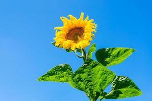 blühende Sonnenblume auf blauem Himmelhintergrund. foto
