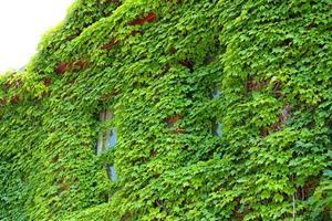 Zwei grüne, mit Efeu bedeckte Fenster, Fassade, Keene, New Hampshire.