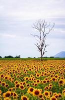 Baum und Sonnenblume foto