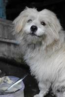 Shih Tzu Hund foto