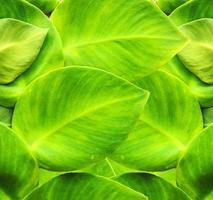 grüner Efeu foto