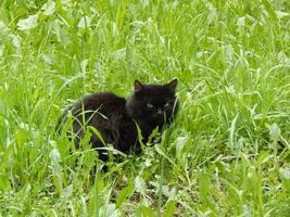 schwarze Katze, die sich im grünen Gras versteckt.