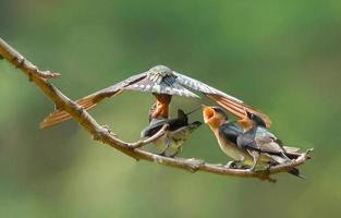 Pazifische Schwalbe füttert jung foto