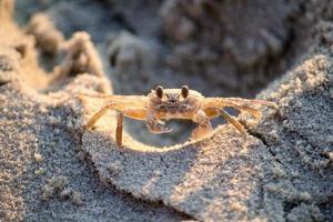 braune Krabbe auf Sand foto