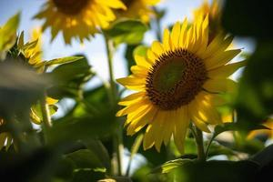 Feld der gelben Sonnenblumen foto