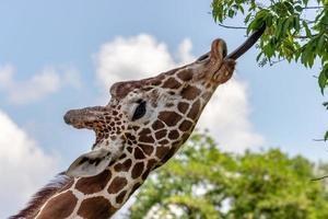 Giraffe frisst Blätter foto