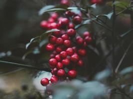 leuchtend rote Beeren foto