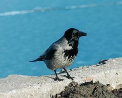 schwarzer und grauer Vogel
