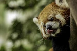 Nahaufnahme des roten Pandas